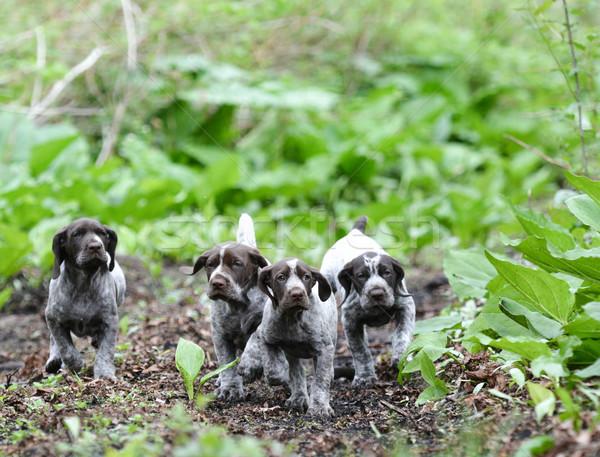 Cuccioli esecuzione foresta cane animale cucciolo Foto d'archivio © willeecole