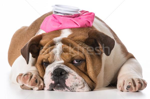 Сток-фото: больным · щенков · английский · бульдог · розовый · фляга