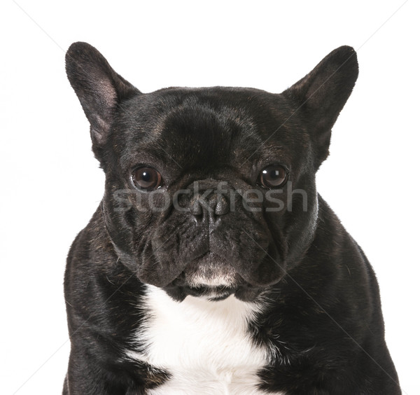 Francia bulldog portré egyéves férfi kutya Stock fotó © willeecole