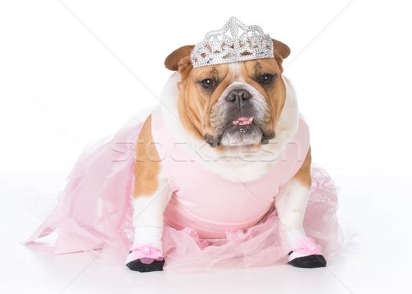 犬 のような バレリーナ 英語 ブルドッグ 女性 ストックフォト © willeecole