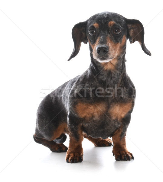 miniature dachshund sitting  Stock photo © willeecole