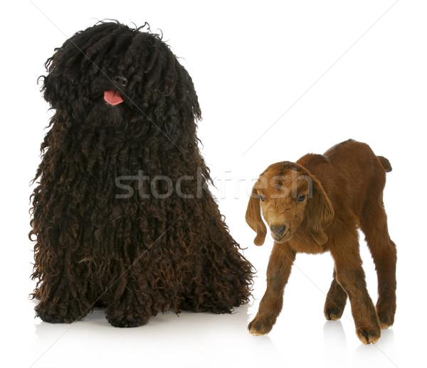 herding dog Stock photo © willeecole