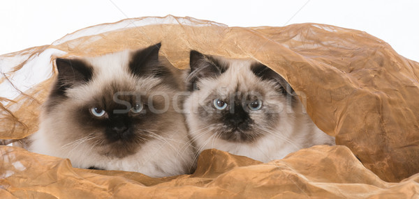 two ragdoll cats Stock photo © willeecole