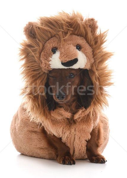 dog wearing lion costume Stock photo © willeecole