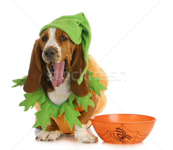 Halloween köpek tazı yukarı gibi kabak Stok fotoğraf © willeecole