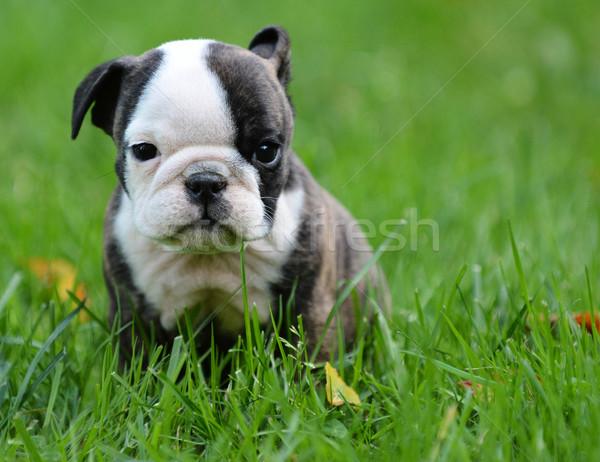 ブルドッグ 子犬 演奏 外 フィットネス 動物 ストックフォト © willeecole