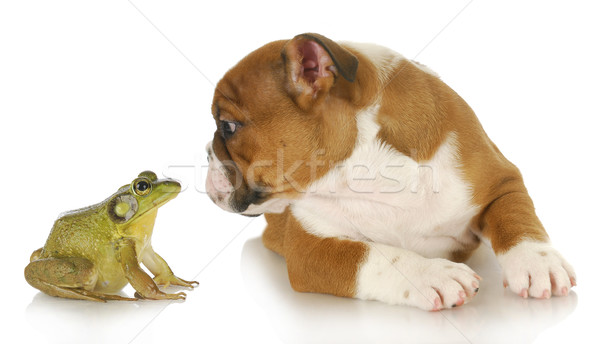 cute puppy with bullfrog Stock photo © willeecole