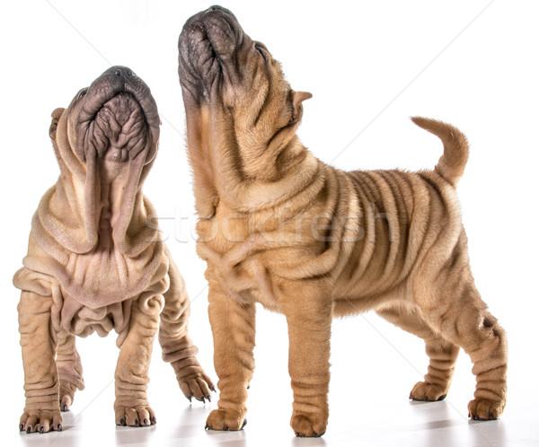 chinese shar pei puppies Stock photo © willeecole