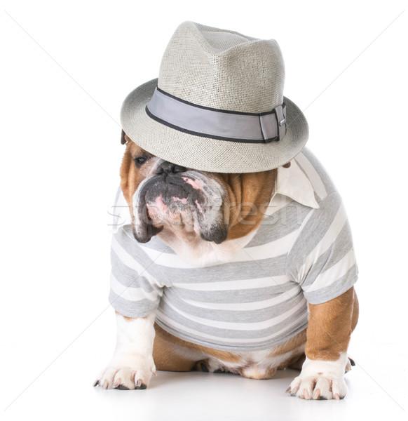 Mężczyzna bulldog fedora posiedzenia biały Zdjęcia stock © willeecole