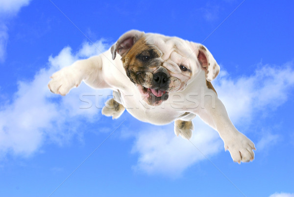 Cane battenti english bulldog nuvoloso cielo blu Foto d'archivio © willeecole