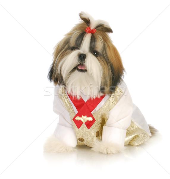 子犬 愛らしい 着用 シャツ 赤 ストックフォト © willeecole