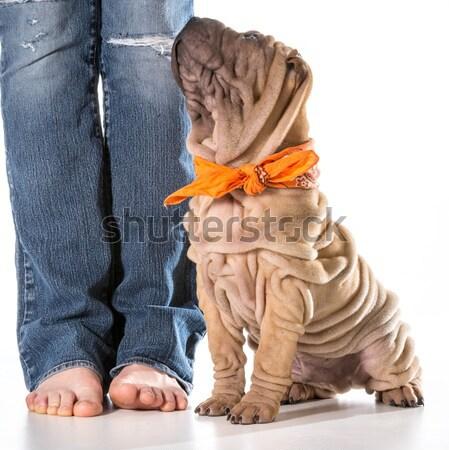 犬の訓練 中国語 座って 綱 孤立した 白 ストックフォト © willeecole
