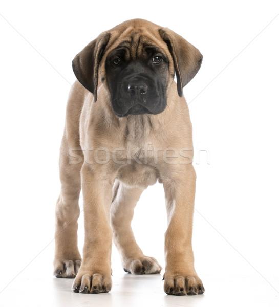 英語 マスチフ 子犬 立って 見える 犬 ストックフォト © willeecole