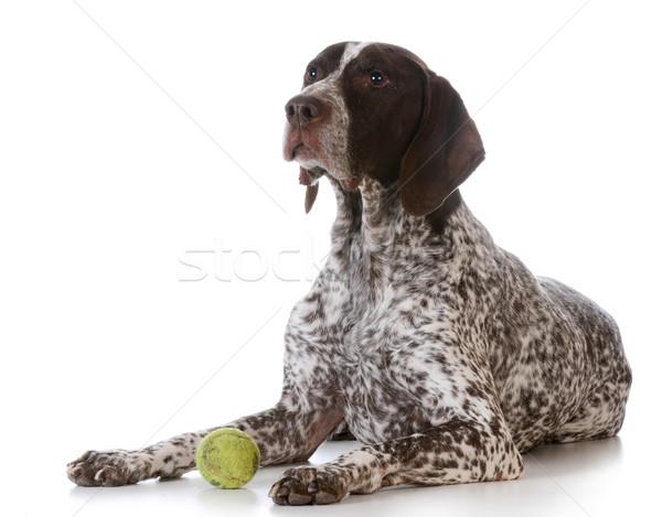 Cão bola de tênis branco fundo tênis Foto stock © willeecole