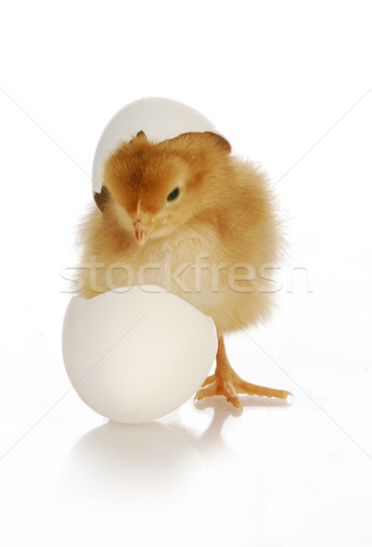 chick hatching Stock photo © willeecole