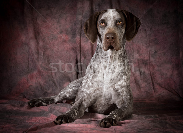 german shorthaired pointer  Stock photo © willeecole