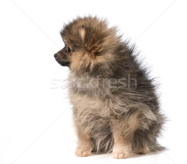 pomeranian puppy Stock photo © willeecole