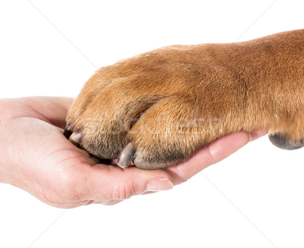 Meilleur ami chien patte main humaine blanche Photo stock © willeecole