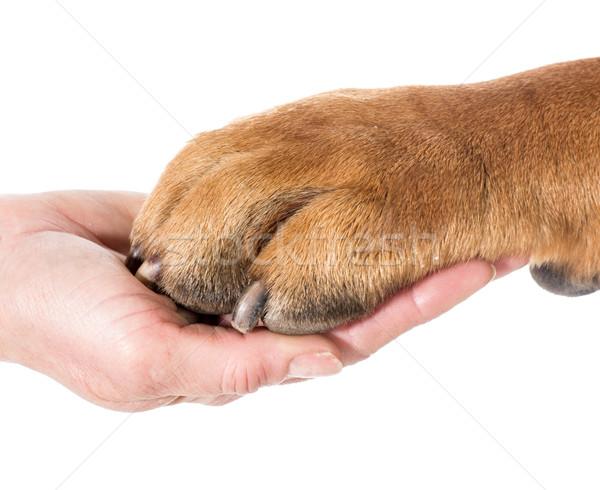 Mejor amigo perro pata mano humana blanco Foto stock © willeecole