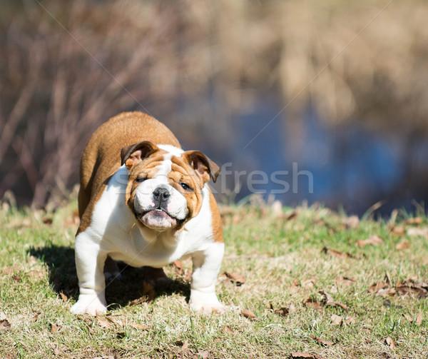 english bulldog outside Stock photo © willeecole