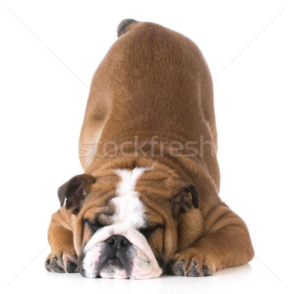 собака бульдог щенков Бум вверх воздуха Сток-фото © willeecole