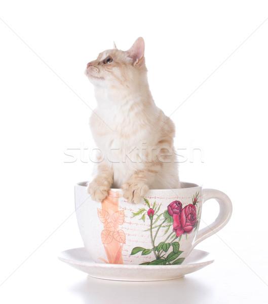 Kedi yavrusu çay fincanı beyaz kedi çay tek başına Stok fotoğraf © willeecole