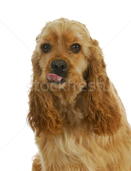 dog sticking tongue out Stock photo © willeecole