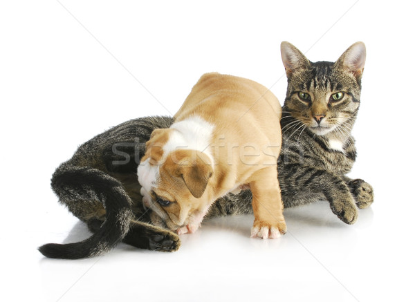 cat and puppy Stock photo © willeecole