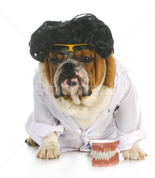 Psa stomatologia angielski bulldog dentysta lab coat Zdjęcia stock © willeecole