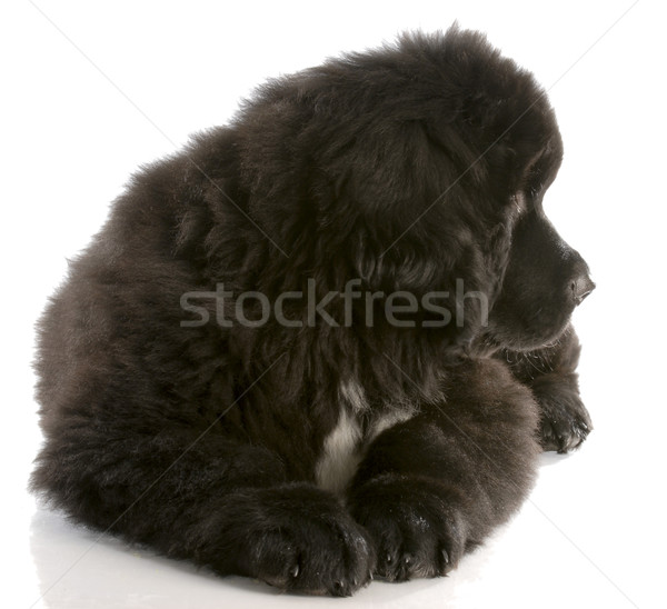 newfoundland puppy laying down looking to the side - twelve weeks old Stock photo © willeecole