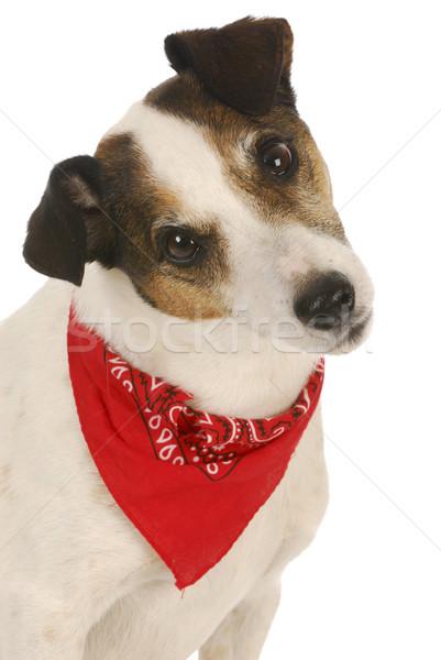 Foto stock: Bonitinho · cão · terrier · vermelho · cabelo