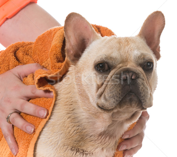 dog bath Stock photo © willeecole