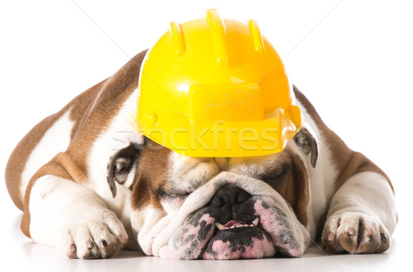 working dog Stock photo © willeecole