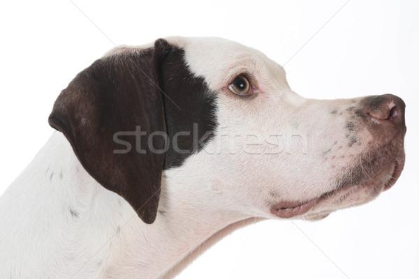 Cabeza retrato blanco animales cachorro mascota Foto stock © willeecole