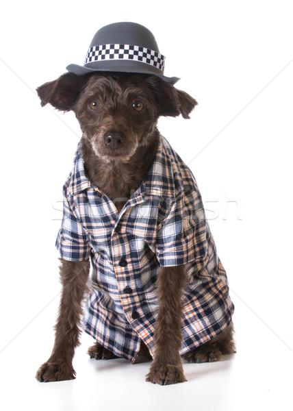Psa jak człowiek mieszany Zdjęcia stock © willeecole