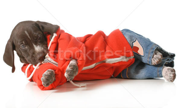 Cool hond korthaar puppy jeans Stockfoto © willeecole