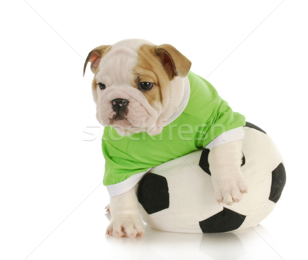 Stock fotó: Kutyakölyök · labdarúgó · angol · bulldog · játszik · töltött