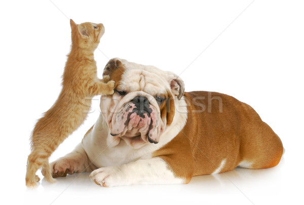 dog and cat playing Stock photo © willeecole