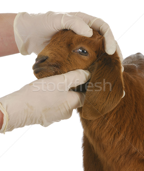 Farm veterinaria care veterinario giovani Foto d'archivio © willeecole