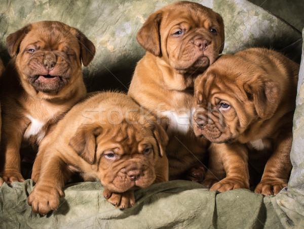 Cachorros verde nina bebé perro Foto stock © willeecole