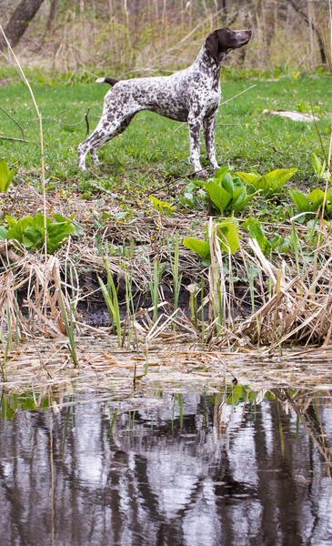 Vadászkutya áll kutya tükröződés díszállat kint Stock fotó © willeecole