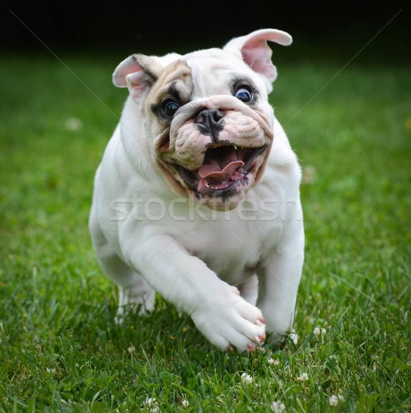 dog running Stock photo © willeecole