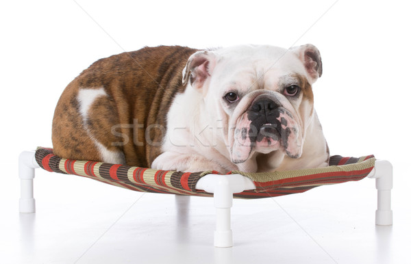 dog laying on dog bed Stock photo © willeecole