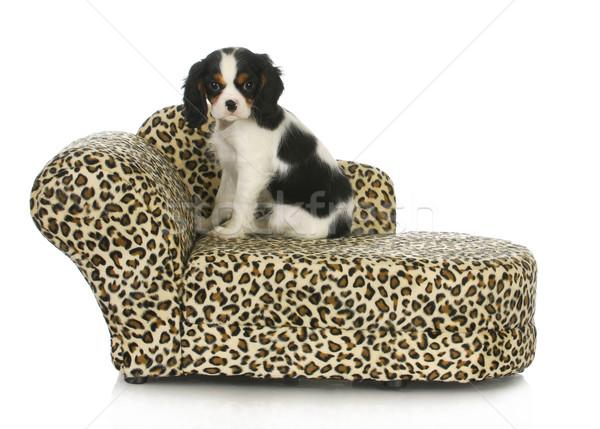 Cão sessão cama rei isolado branco Foto stock © willeecole