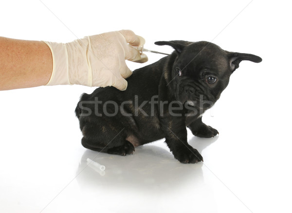 microchipping puppy Stock photo © willeecole
