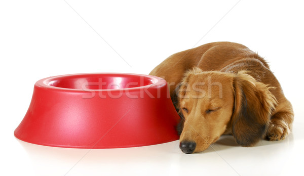 dog waiting to be fed Stock photo © willeecole