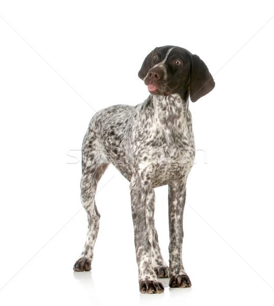 Dom hond grappig geïsoleerd witte Stockfoto © willeecole
