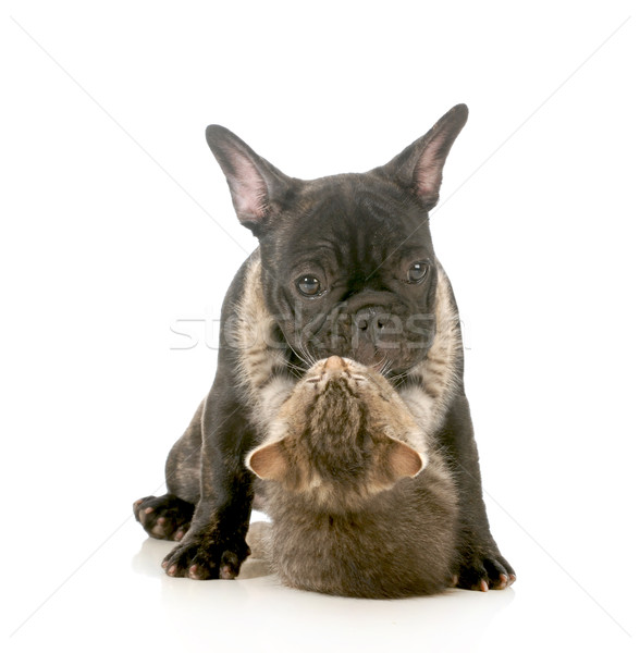 Kutyakölyök szeretet kiscica karok körül francia Stock fotó © willeecole