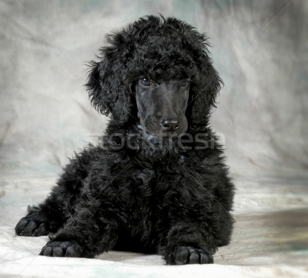 poodle puppy Stock photo © willeecole