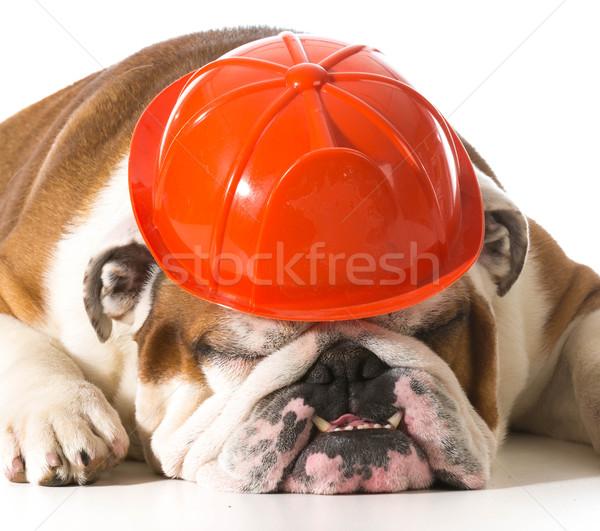 dog wearing fireman hat Stock photo © willeecole